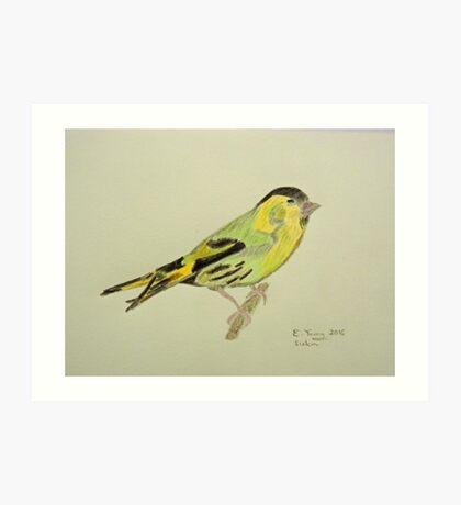 Siskin Drawing Art Print