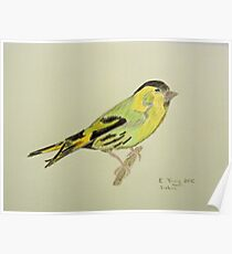Siskin Drawing Poster