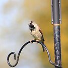 House sparrow on bird feeder by turniptowers