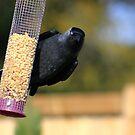 Jackdaw on bird feeder  by turniptowers