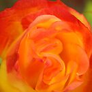 A Rose  by saleire
