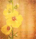 Dark Mullein (Verbascum nigrum) flowers by Hugh McKean
