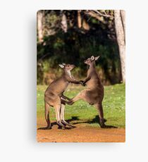 Fighting Kangaroos Canvas Print