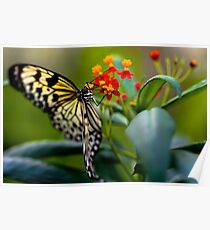 Butterfly Nectar Poster