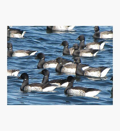 Convoy of Brant geese Photographic Print