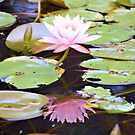Reflection Of A Water Lily by ©Dawne M. Dunton