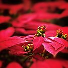 Red Poinsettia Flowers by Nhan Ngo