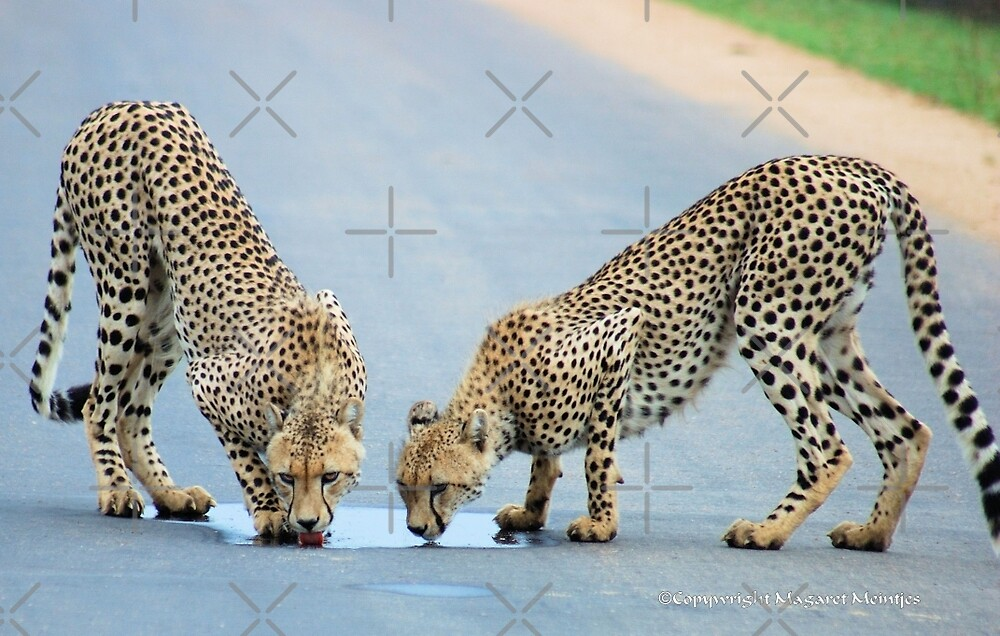 WHEN THIRST TAKES OVER - THE CHEETAH - Acinonyx jabatus by Magriet Meintjes