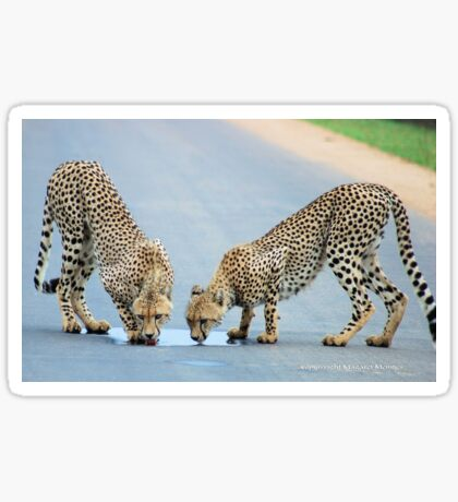WHEN THIRST TAKES OVER - THE CHEETAH - Acinonyx jabatus Sticker