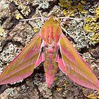 Elephant Hawk-moth by Kawka