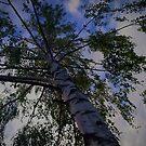 Birch skyward by NafetsNuarb