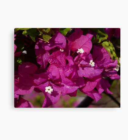 Brillitan Bougainvillea Canvas Print