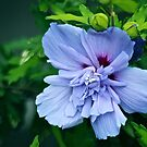 Rose of Sharon by autumnwind