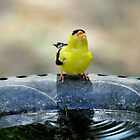 thirsty goldfinch... by Laurie Minor