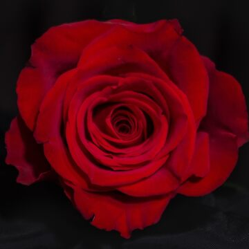 Red Rose by catherinekneeuk