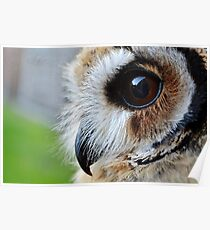 Loki-The mexican striped owl Poster