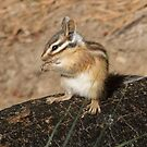 Pretty as a chipmunk by Anthony Brewer