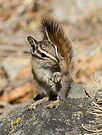 Hello chipmunk! by Anthony Brewer