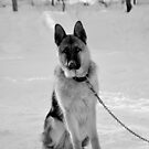 Staying watch - German shepherd by gabriellaksz