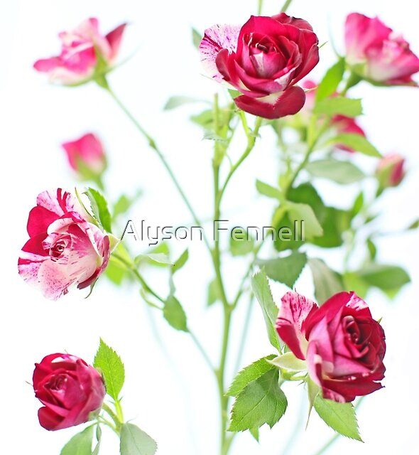 Red Roses by Alyson Fennell