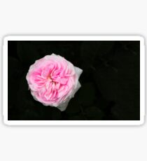 Pink flower in bloom Sticker