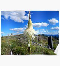 Summer Bear Grass Poster