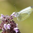 """"""" White Wings On Willowherb """" by Richard Couchman"""