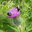 Buzzy Bees on a Thorny Thistle by Lisa Kent