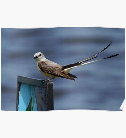 Scissor-tailed Flycatcher 1 Poster