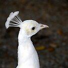 White Bird by David Lee Thompson
