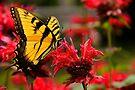 Tiger Swallowtail by NatureGreeting Cards ©ccwri