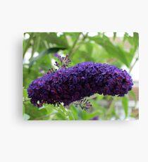 Butterfly Magnet - Buddleja Beauty Canvas Print
