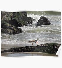 Oyster catcher Low Tide Poster