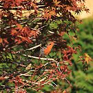 Robin hiding in Acer palmatum by turniptowers