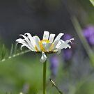 daisy by telley20