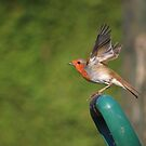 Robin flying from spade handle by turniptowers