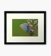 Macro shot of a Common Blue Butterfly ! Framed Print