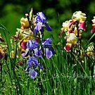 Field of Iris by BShirey