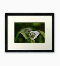 Macro shot of a Green Veined Butterfly Framed Print