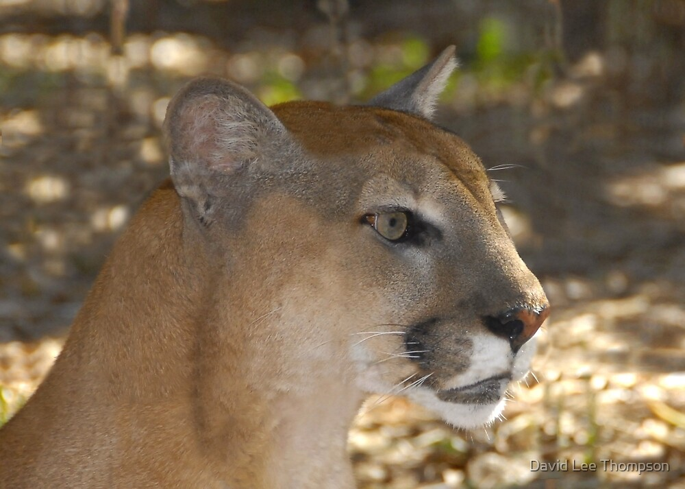 Florida Panther by David Lee Thompson