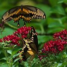 Swallowtail Butterfly Courtship by Joe Saladino