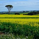 Not Canary..............Canola! by adbetron