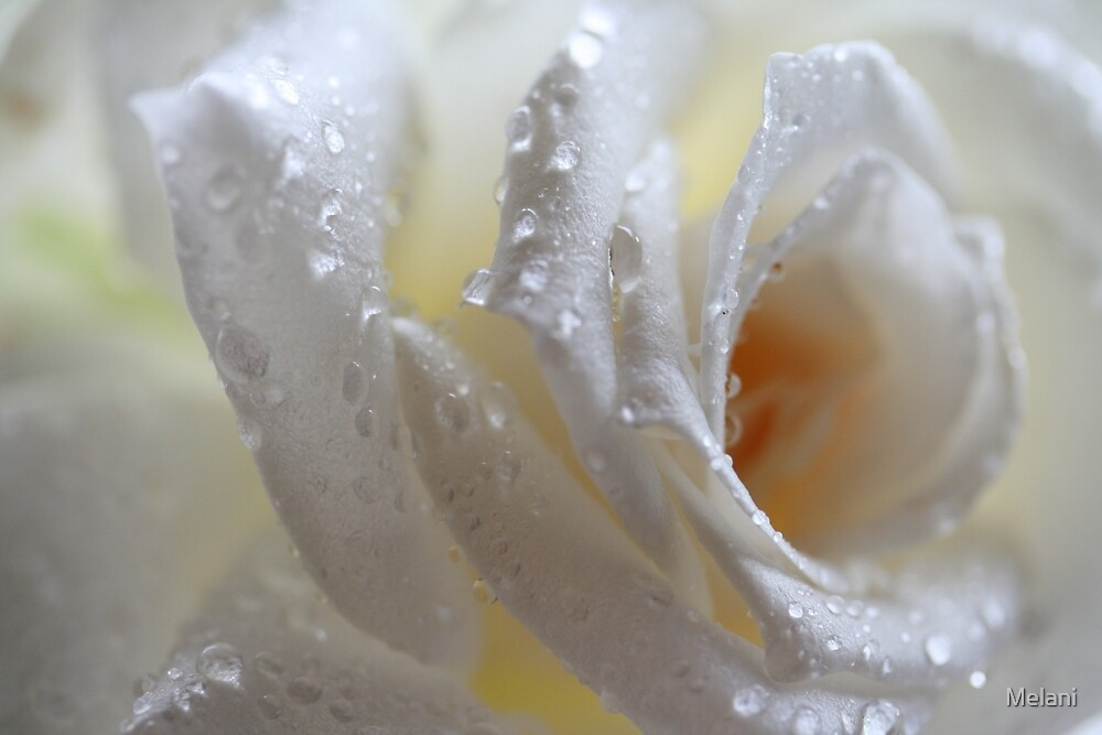 Rain drenched white rose by Melani