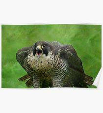 The Peregrine Falcon  Poster