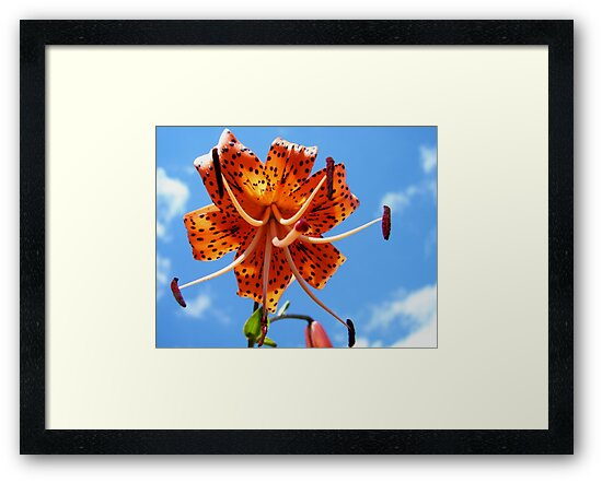 Turk's Cap Lily by jenndes