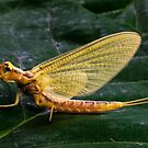 Mayfly by Joe Saladino