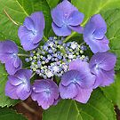 Gorgeous Hydrangea! by Pat Yager