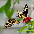 Tiger Swallowtail Courtship by Joe Saladino