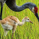 Sandhill crane parent with chick by Joe Saladino