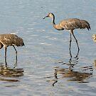 Sandhill crane family by Joe Saladino
